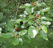 Mulberry fruit and leaves at Fulham Palace - geograph.org.uk - 835697