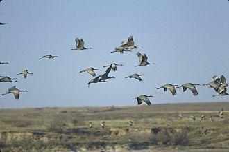 Muleshoe National Wildlife Refuge - Image: Muleshoe Sandhill Cranes Meinzer 2008