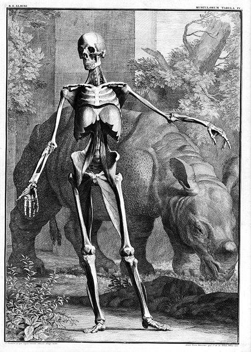 Muscled skeleton, facing front with Rhinoceraus. Wellcome M0010418