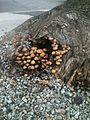 Mushrooms on tree stump.jpg