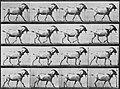 Muybridge, Eadweard - Gehende Ziege (0.43 Sekunden) (Zeno Fotografie).jpg