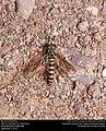 Mydas fly (Mydidae) (30097944425).jpg