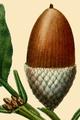 NAS-009 Quercus montana acorn.png