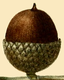 NAS-019f Quercus nigra acorn.png