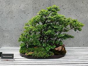 Wind on the Mountain is a Chinese Elm (Ulmus p...