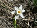 Nadala Menuda (Narcissus Dubius) 05.JPG