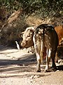 Nahal Dishon, cows 01.jpg
