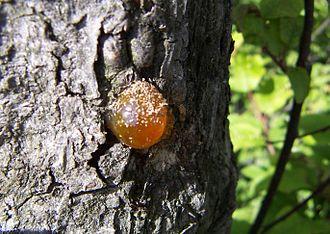 Natural gum - Natural gum of plum tree