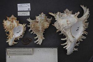Prosobranchia - Chicoreus ramosus, a prosobranch gastropod.