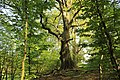 Naturschutzgebiet Gramstorfer Berge (6) - urige Bäume.JPG
