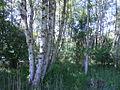 Naturschutzgebiet Tävsmoor Kreis Pinneberg (Schleswig-Holstein) 10.JPG