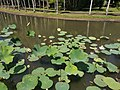 Nelumbo nucifera pond Mauritius 2019-09-27 5.jpg