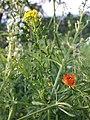 Neslia paniculata s. str. + Adonis aestivalis sl1.jpg