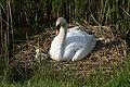 Nesting Swan and Cygnet - geograph.org.uk - 459239.jpg