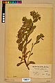 Neuchâtel Herbarium - Cerinthe glabra - NEU000020706.jpg