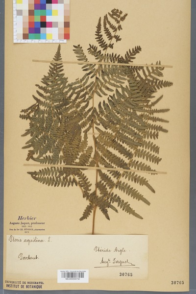 File:Neuchâtel Herbarium - Pteridium aquilinum - NEU000000732.tiff