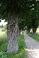Neulengbach - Naturdenkmal PL-032 - Dangelmann-Allee.jpg