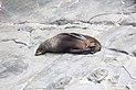 New Zealand sea lion.jpg