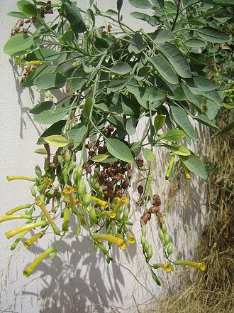 Nicotiana glauca - Image: Nicotiana glauca