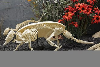Osteoderm - Armadillo skeleton with shell, which is made of osteoderms displayed at the Museum of Osteology.