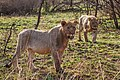 Nkomazi Game Reserve, South Africa (22464876650).jpg