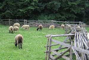 Adventist Youth Honors Answer Book/Sheep Breeds/Merino - Wikibooks
