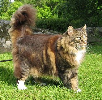 Norwegian Forest cat - Female Norwegian Forest cat