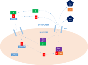 Importin - Overview of the nuclear protein import cycle.