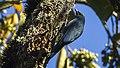 Nuthatch Vanga - Andasibè - Madagascar S4E7519 (15102034490) (cropped).jpg