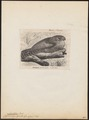 Nyctibius grandis - 1700-1880 - Print - Iconographia Zoologica - Special Collections University of Amsterdam - UBA01 IZ16700025.tif