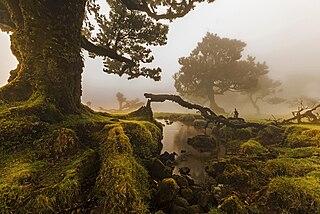 O Fanal, Ilha da Madeira, Portugal