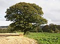 Oak Tree, Farnley Tyas - geograph.org.uk - 564880.jpg
