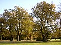 Oak trees, Southampton Common - geograph.org.uk - 24724.jpg