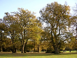 Oak trees, Southampton Common. These trees lin...