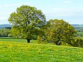 Oaks and dandelions 1 - geograph.org.uk - 1280635.jpg