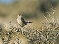 Ochetorhynchus phoenicurus - Band-tailed Earthcreeper Valdes.jpg
