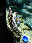Octopus-vulgaris-2.jpg