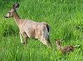 Odocoileus virginianus (white-tailed deer) 7 (8269171791).jpg