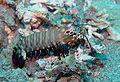 Odontodactylus scyllarus3.jpg