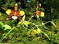 Odontoglossum grande Orchi 002.jpg