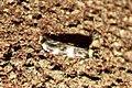 Oegoconia cf. quadripuncta (FG) (36704191224).jpg