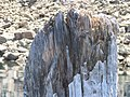 Old Man of the Lake - Crater Lake National Park - NPS 5.jpg
