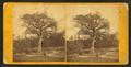 Old elm tree on Boston Common, by John B. Heywood.png