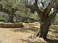 Olive trees in the traditional garden of Gethsemane (6409532701).jpg