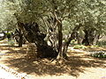 Olive trees in the traditional garden of Gethsemane (6409583517).jpg