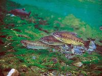 有台灣國寶魚之稱的台灣鮭魚