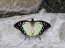 Open wing position of Charaxes eudamippus Doubleday, 1843 – Great Nawab (2).jpg