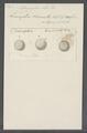 Ophryoglena atra - - Print - Iconographia Zoologica - Special Collections University of Amsterdam - UBAINV0274 113 15 0065.tif