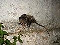 Opossum (3892158554).jpg