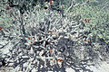 Opuntia versicolor staghorn cholla WPC.jpg